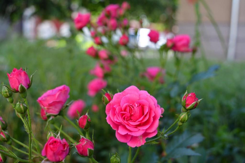 Roses in Kazanlak, Bulgaria