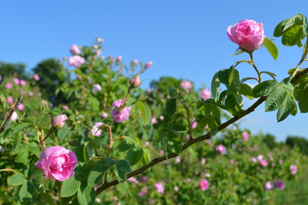 The Bulgarian rose: memories of rose-pickers